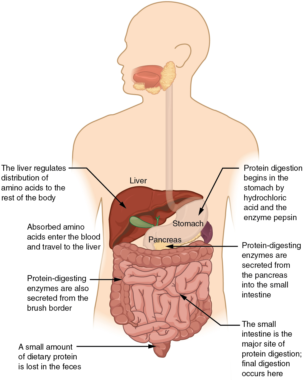 Chemical Digestion and Absorption: A Closer Look · Anatomy and ...