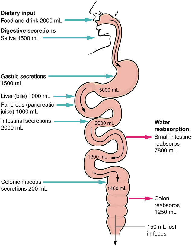 Chemical Digestion And Absorption A Closer Look Anatomy And