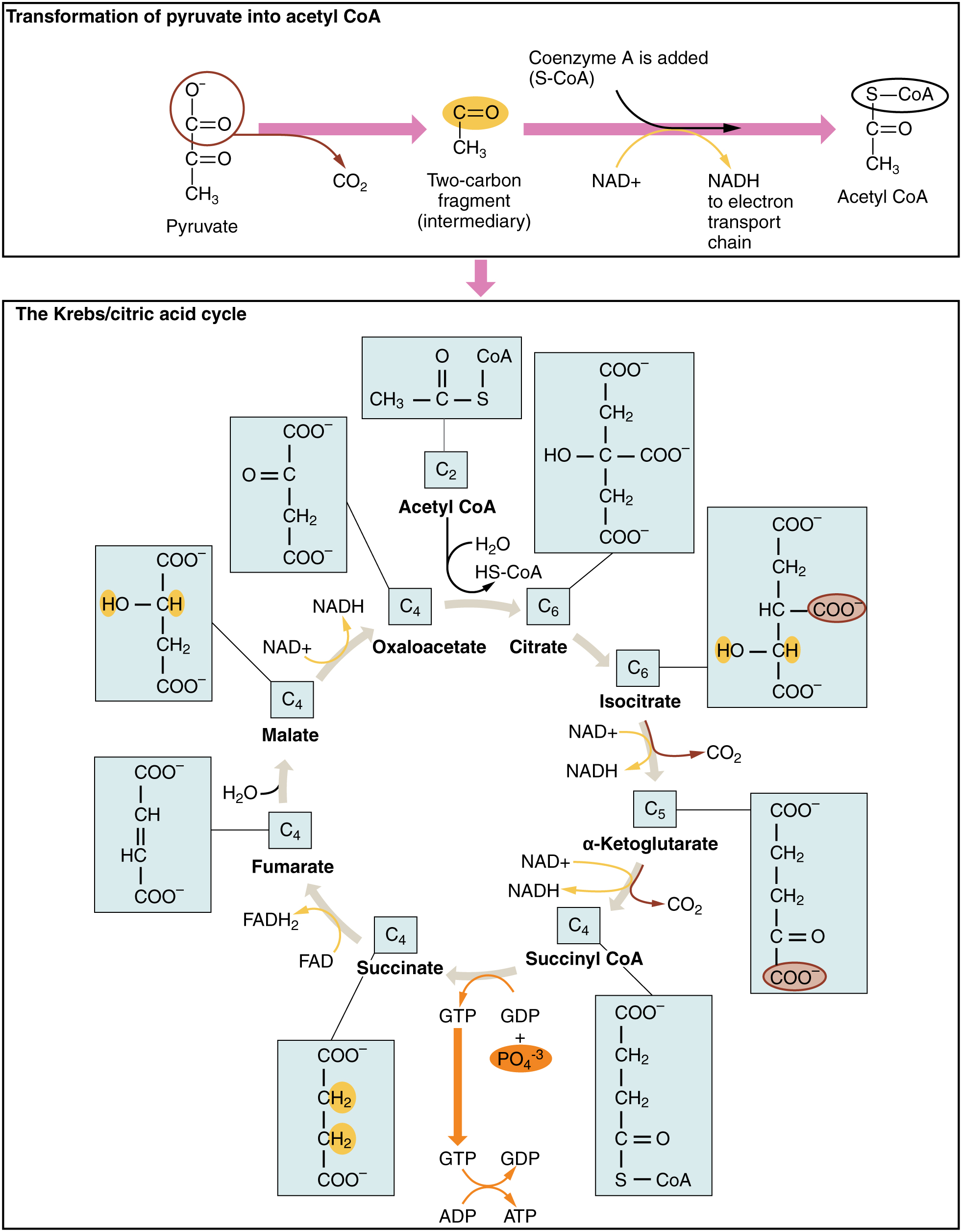 A Closer Look At The Citric  A Closer Look At The Citric Acid Cycle