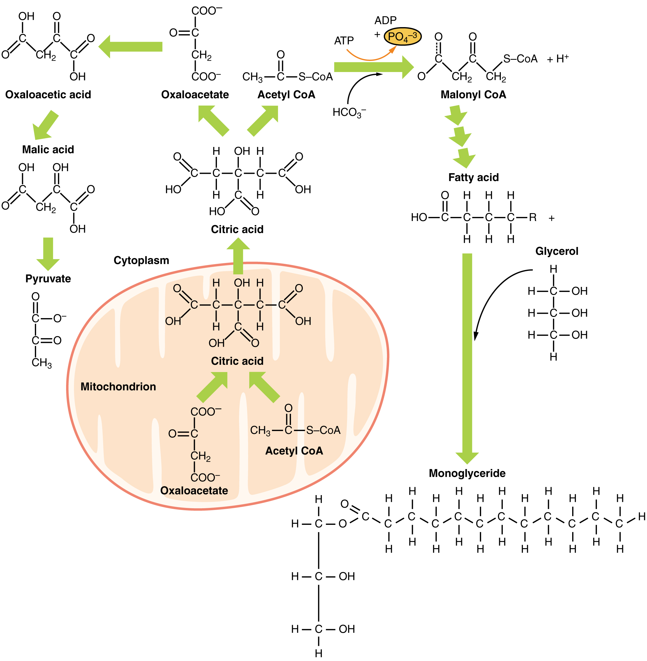 Lipid Metabolism · Anatomy and Physiology