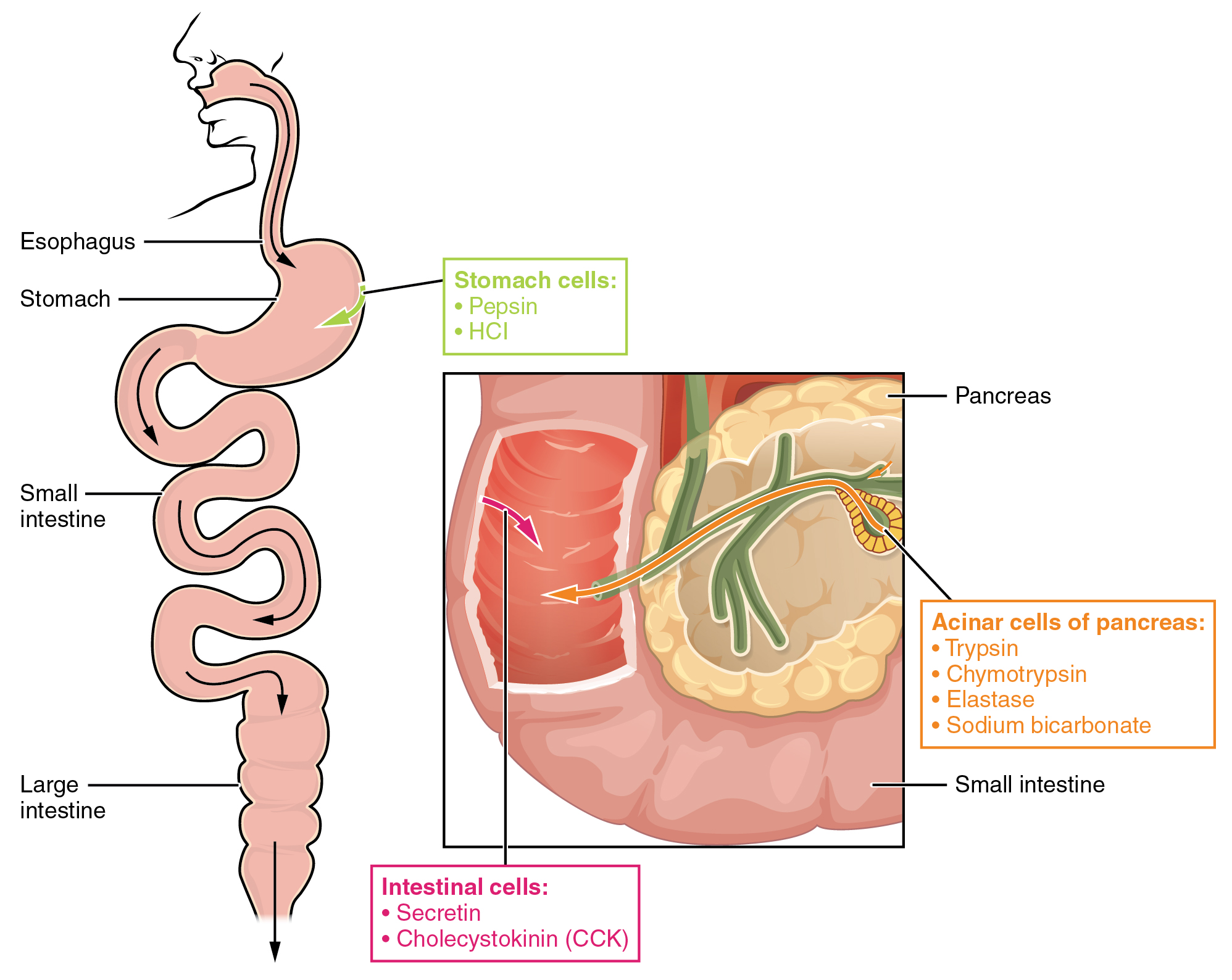 Protein Metabolism Anatomy And Physiology