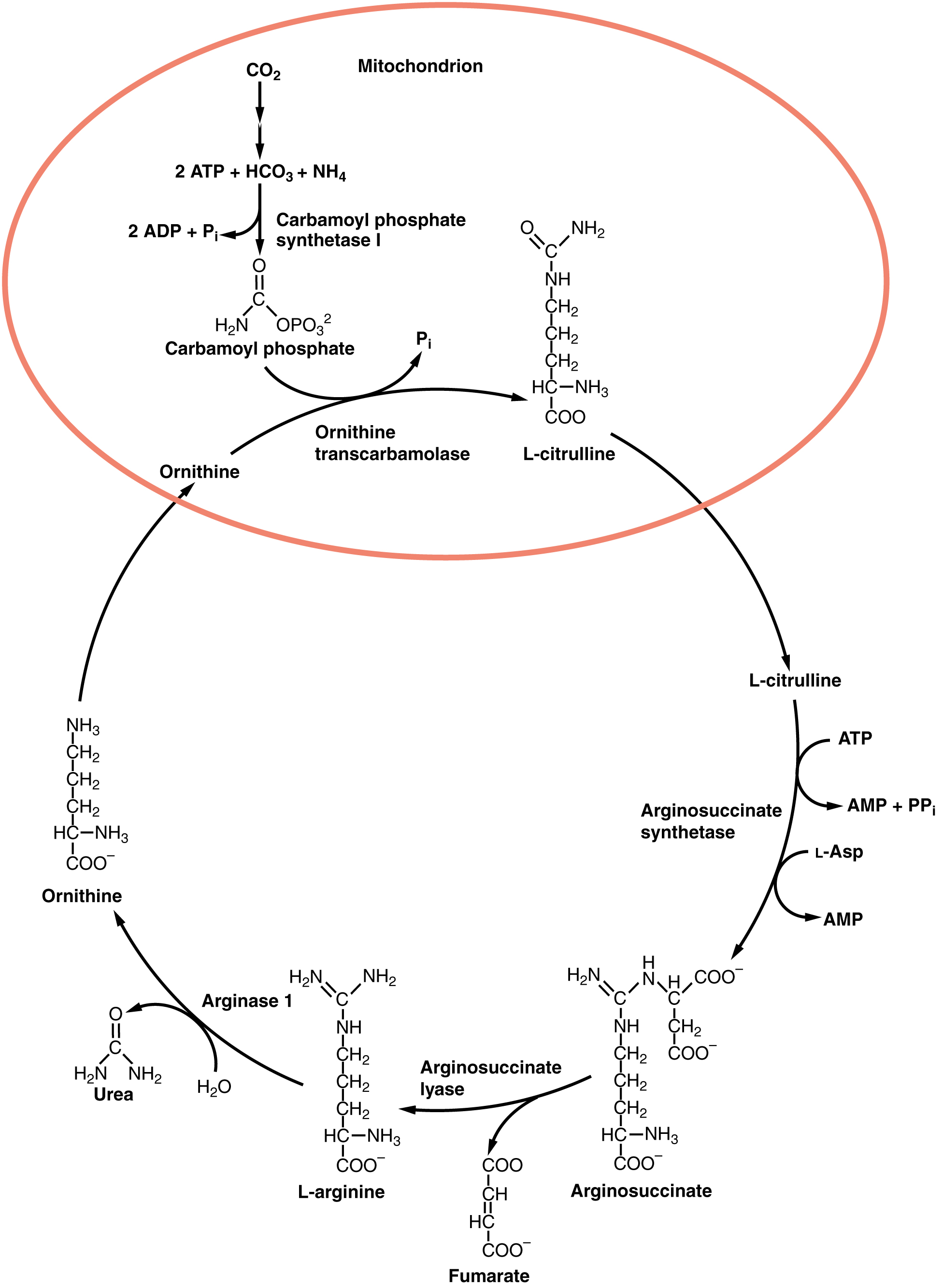 Protein Metabolism · Anatomy and Physiology
