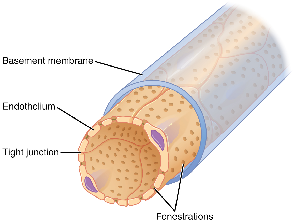 fenestrations allow many substances to diffuse from the blood based