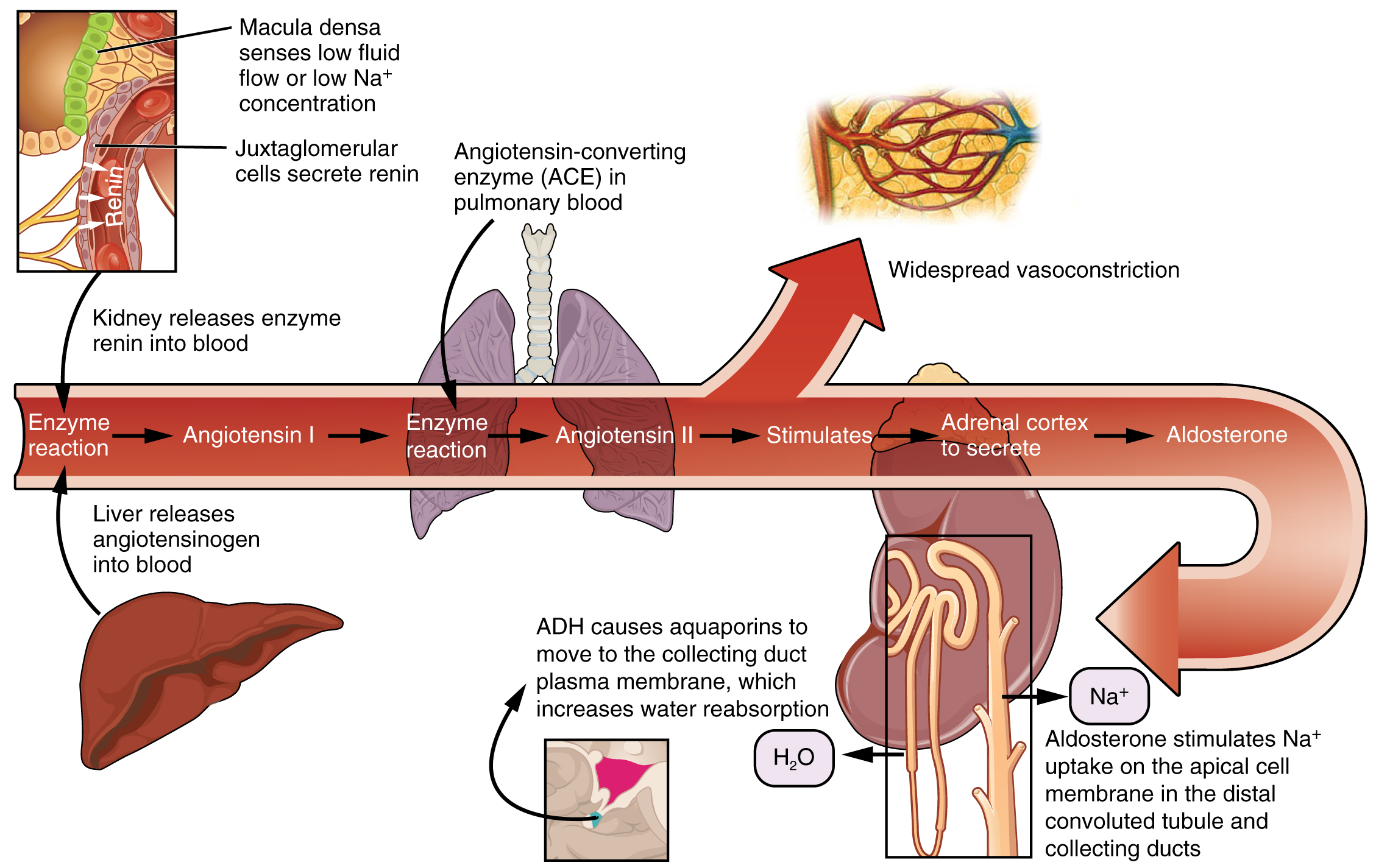 Microscopic Anatomy of the Kidney · Anatomy and Physiology