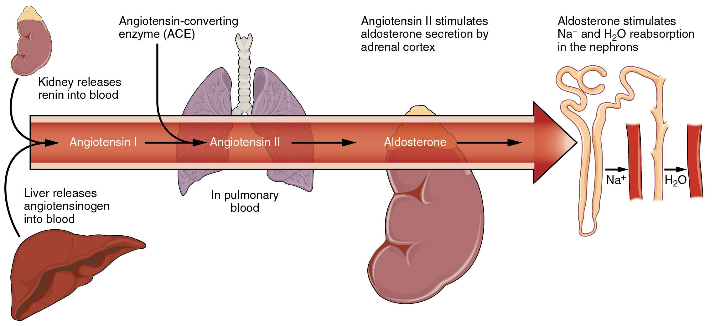 Electrolyte Balance · Anatomy and Physiology