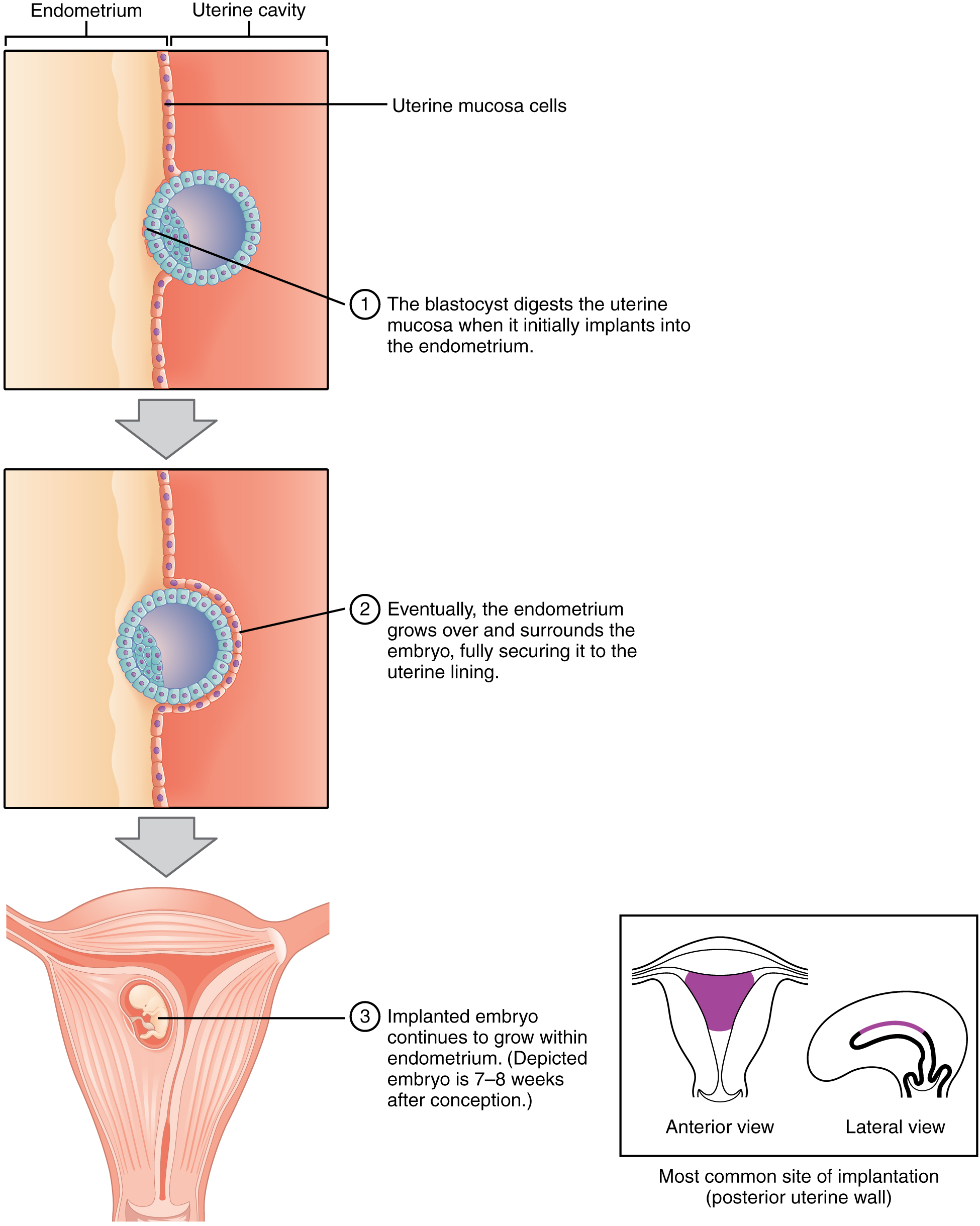 Embryonic Development · Anatomy and Physiology