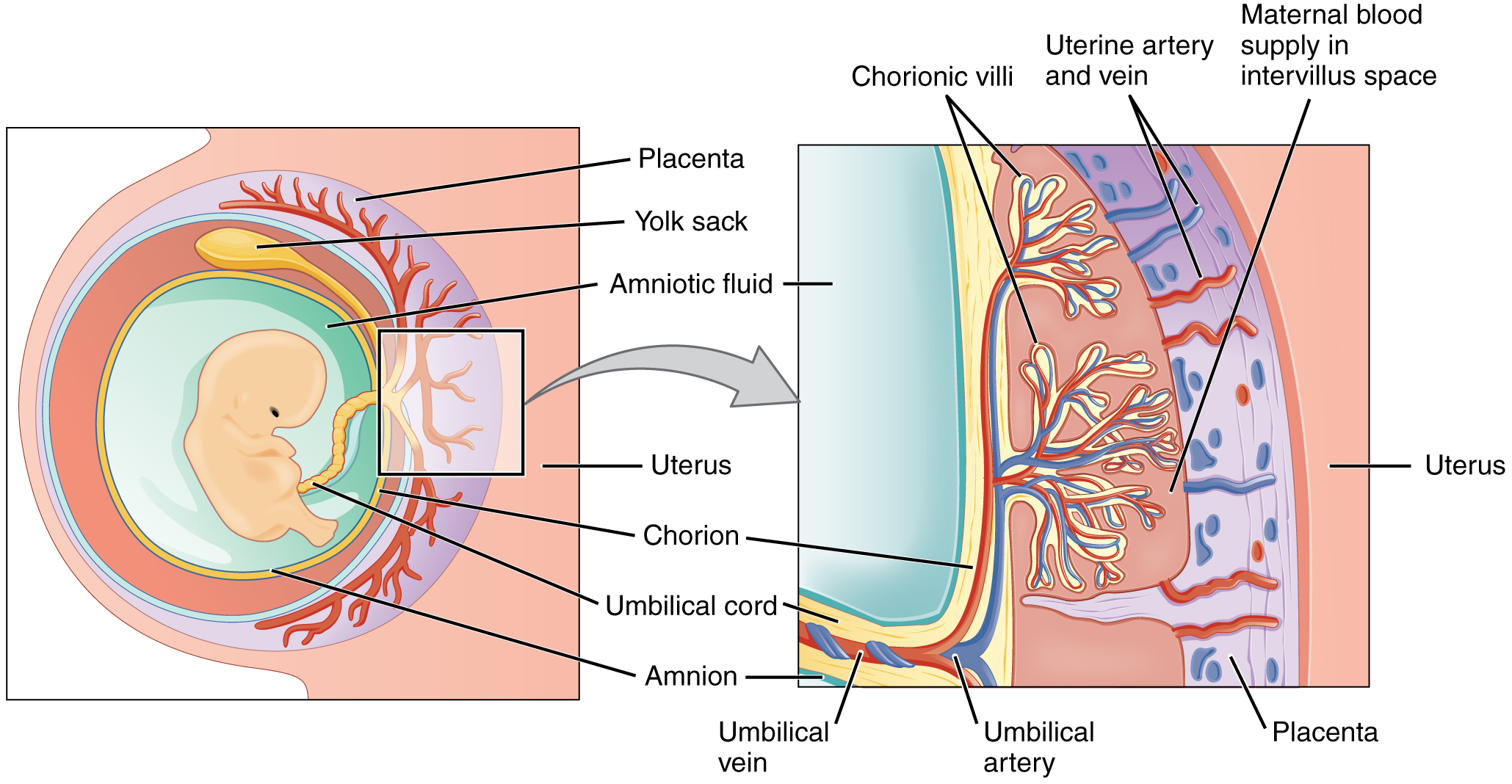 Embryonic development anatomy and physiology in the placenta maternal and fetal blood components are conducted through the surface of the chorionic villi but maternal and fetal bloodstreams never mix pooptronica Choice Image