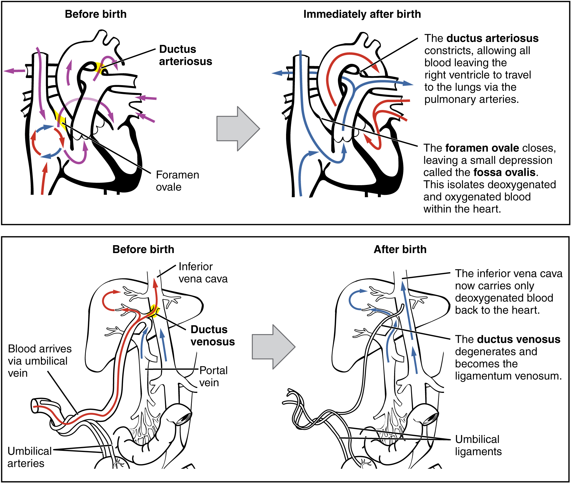 Adjustments of the Infant at Birth and Postnatal Stages · Anatomy ...