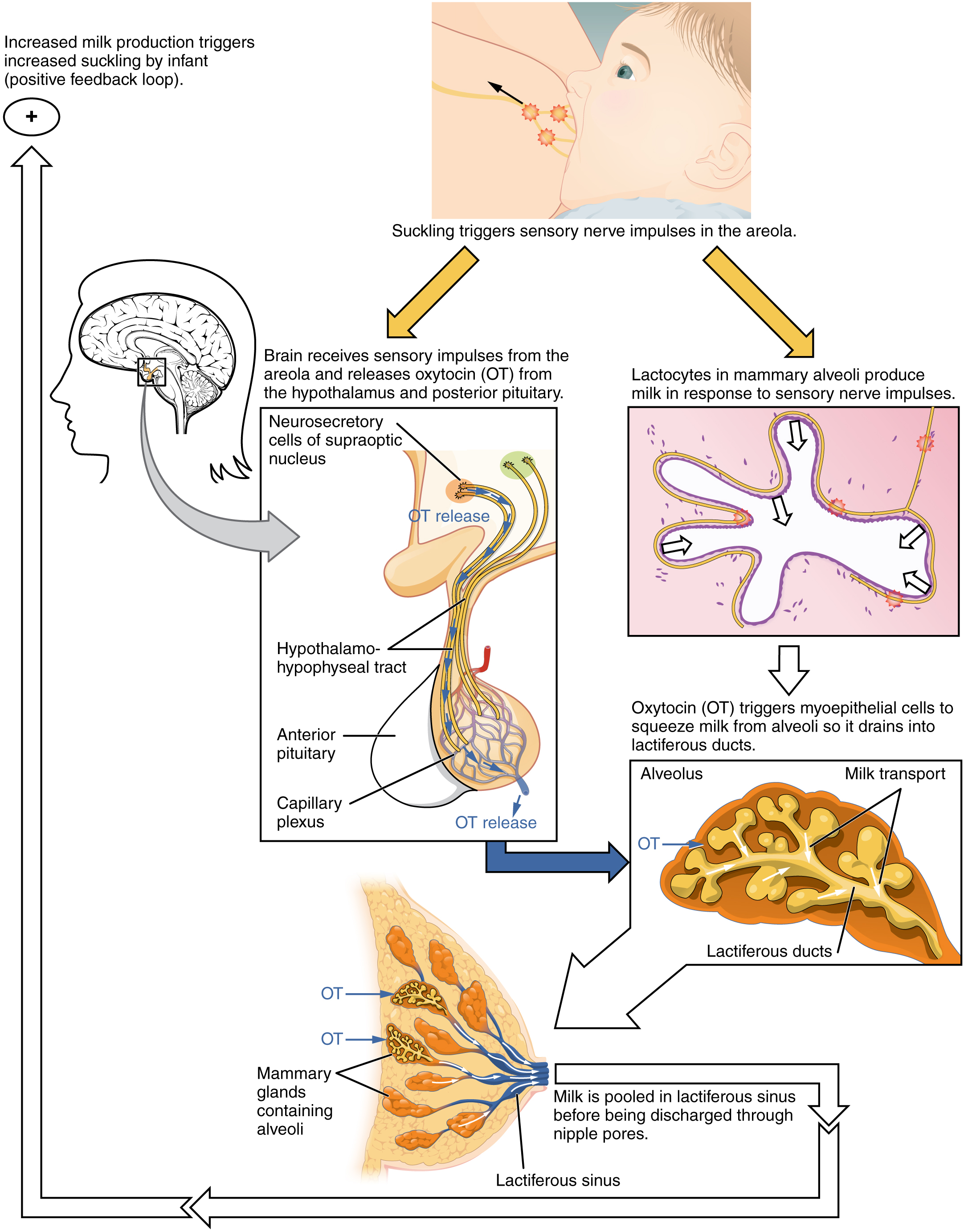Lactation · Anatomy and Physiology