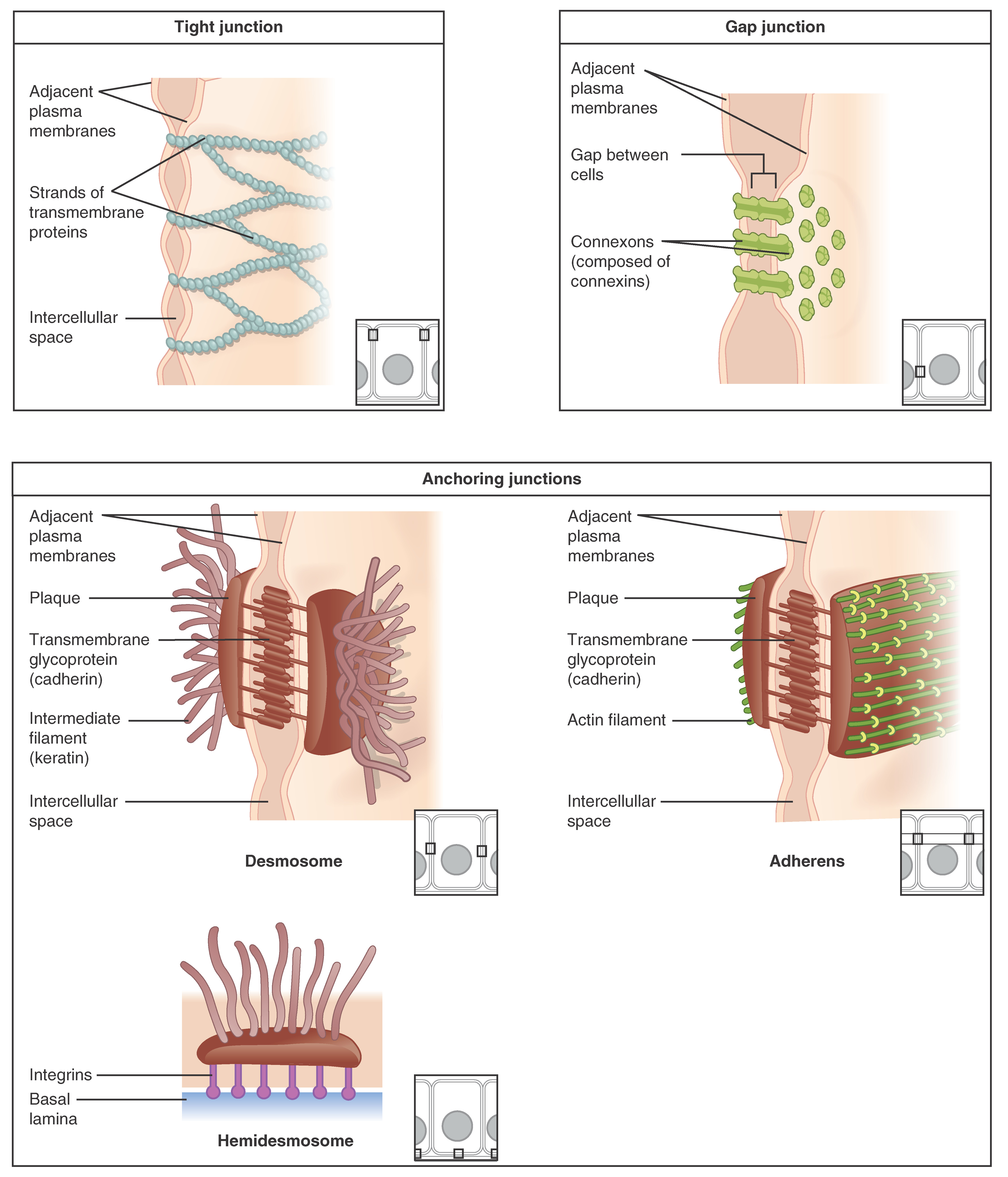 Epithelial Tissue · Anatomy and Physiology