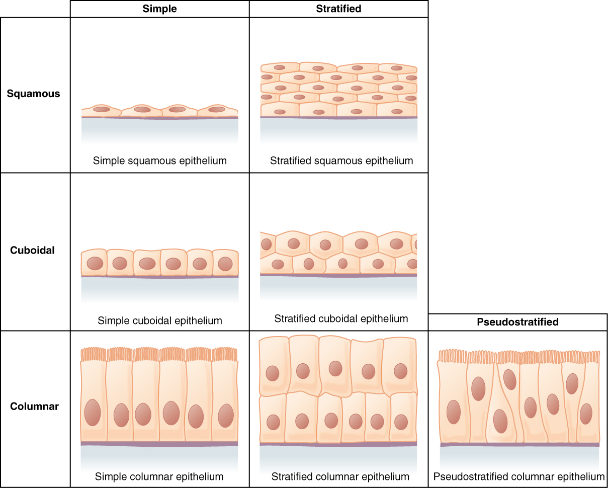 Epithelial Tissue Labeled