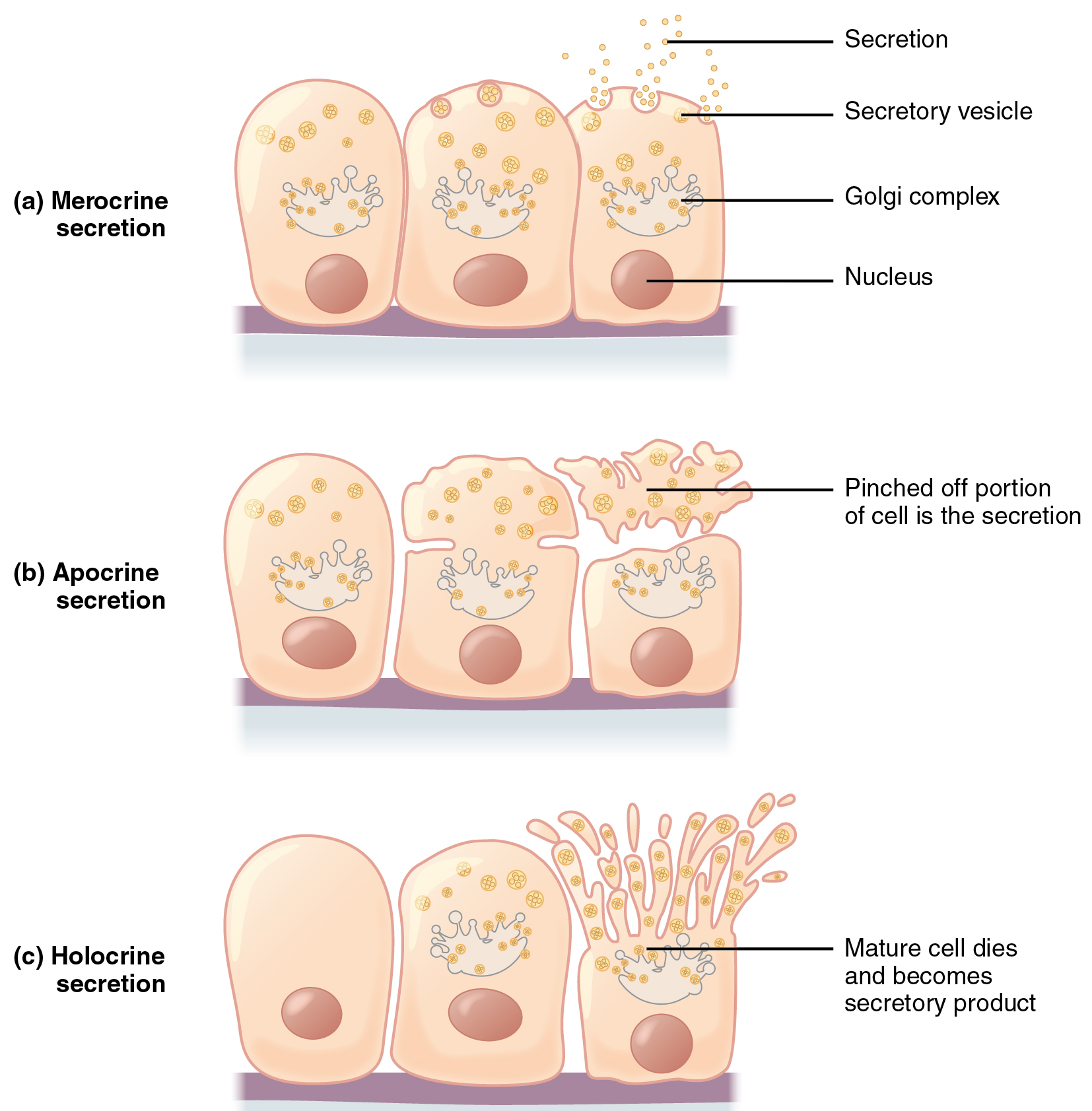 what is the definition of epithelial tissue