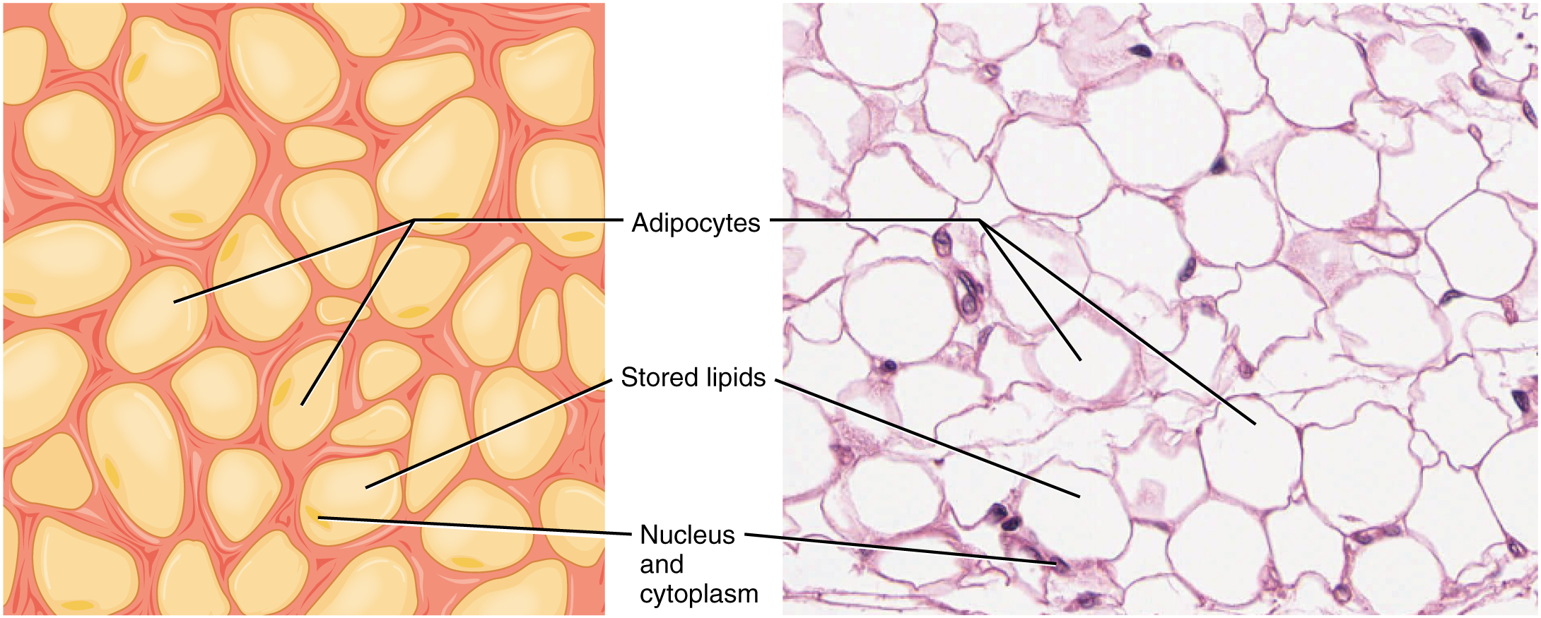 Connective Tissue Supports and Protects · Anatomy and Physiology