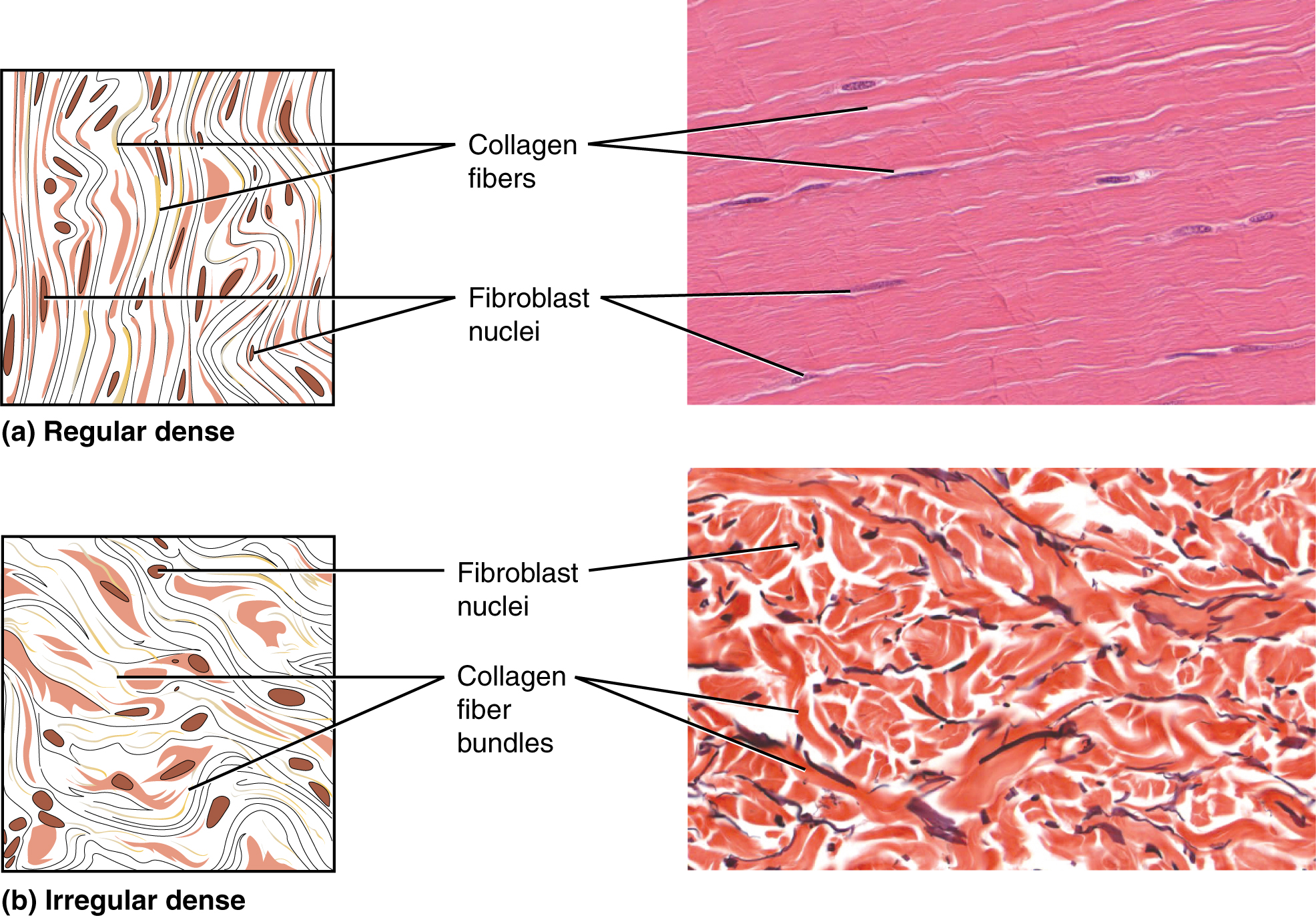 Connective Tissue Supports And Protects  U00b7 Anatomy And