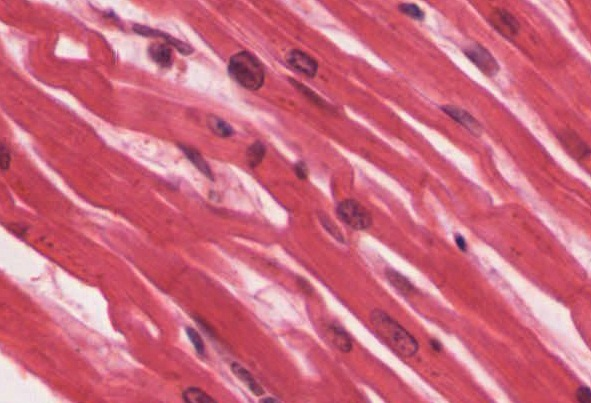 cardiac muscle tissue · anatomy and physiology, Muscles