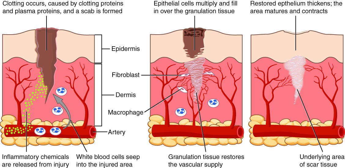 Tissue Injury and Aging · Anatomy and Physiology
