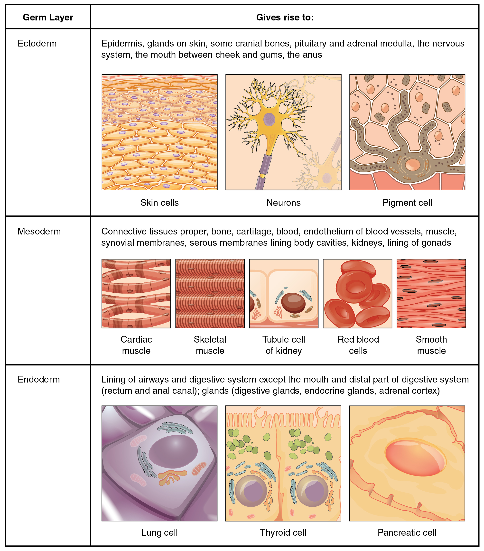Types of Tissues · Anatomy and Physiology