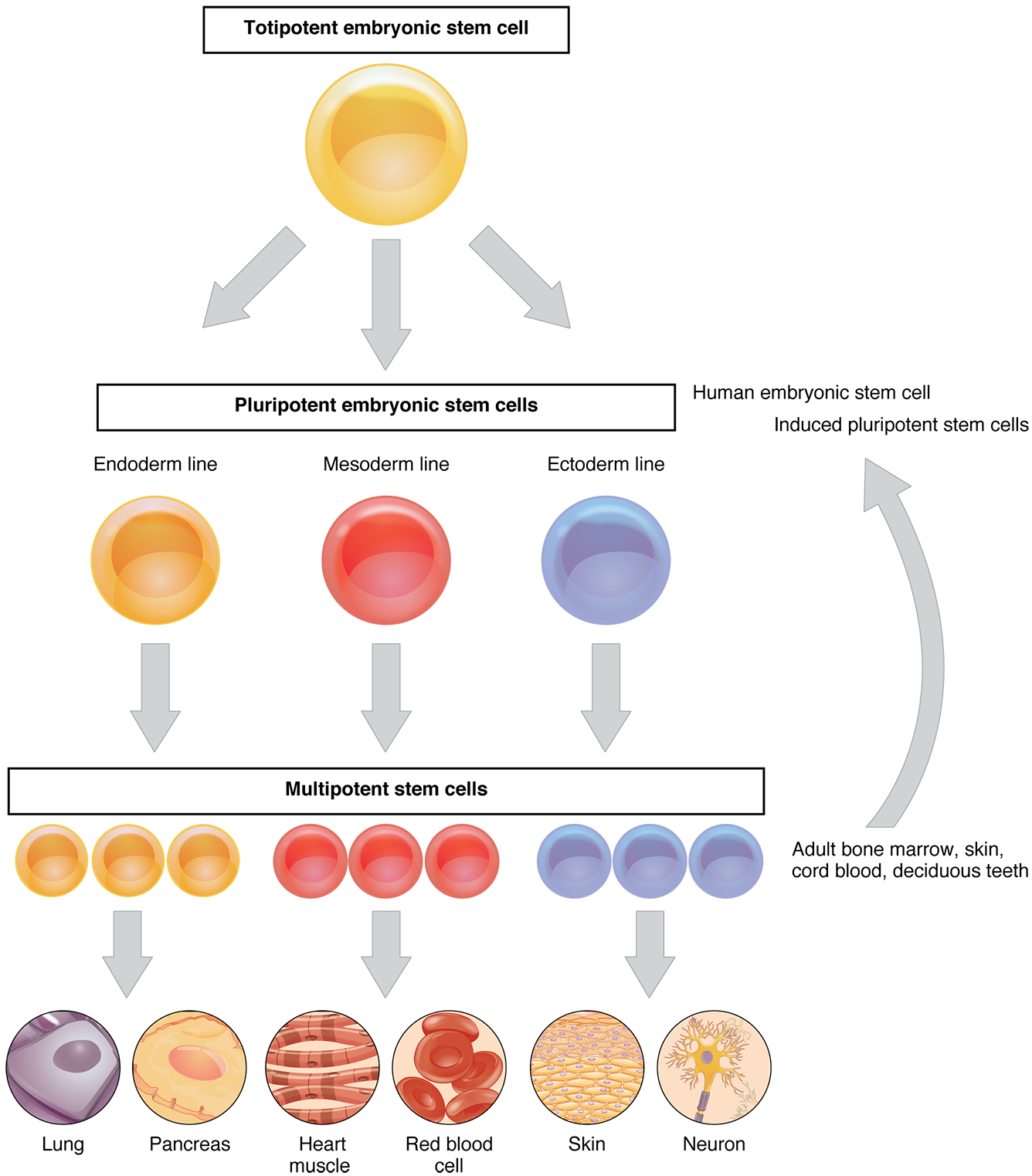 Cellular Differentiation Anatomy And Physiology
