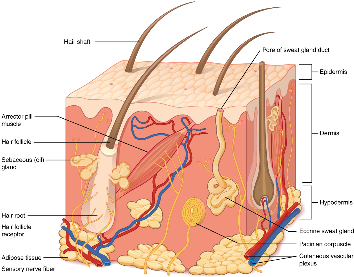layers of the skin · anatomy and physiology, Human Body