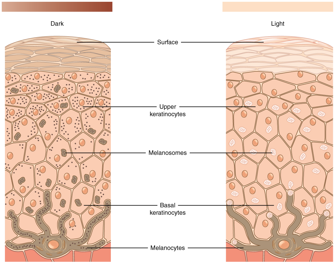 Layers of the skin anatomy and physiology the relative coloration of the skin depends of the amount of melanin produced by melanocytes in the stratum basale and taken up by keratinocytes ccuart Choice Image