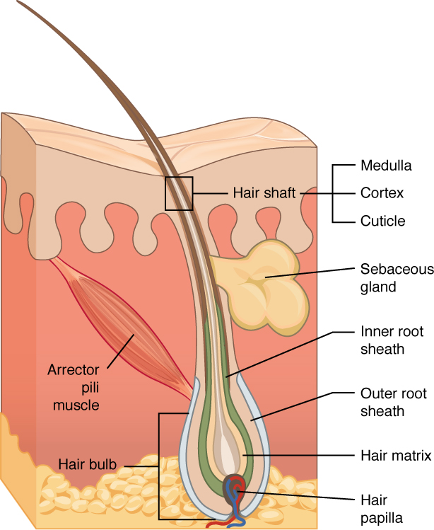 Worksheets Skin Structure Diagram To Label accessory structures of the skin anatomy and physiology hair follicles originate in epidermis have many different parts