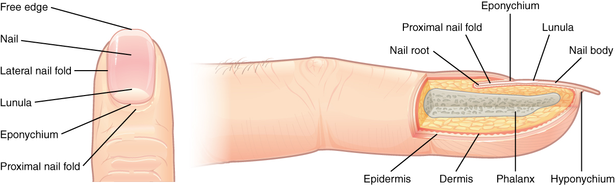 The Nail Is An Accessory Structure Of Integumentary System