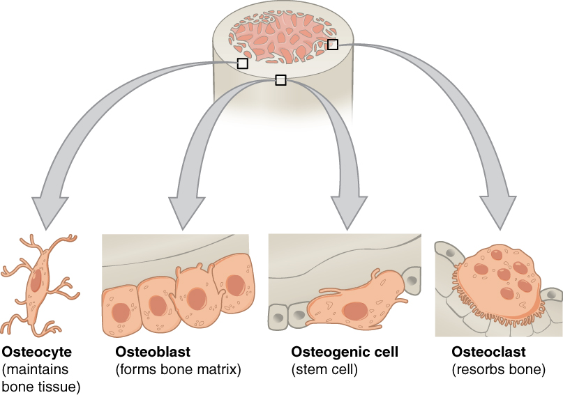 Bone Structure · Anatomy and Physiology