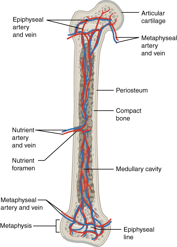 Bone Structure Anatomy And Physiology