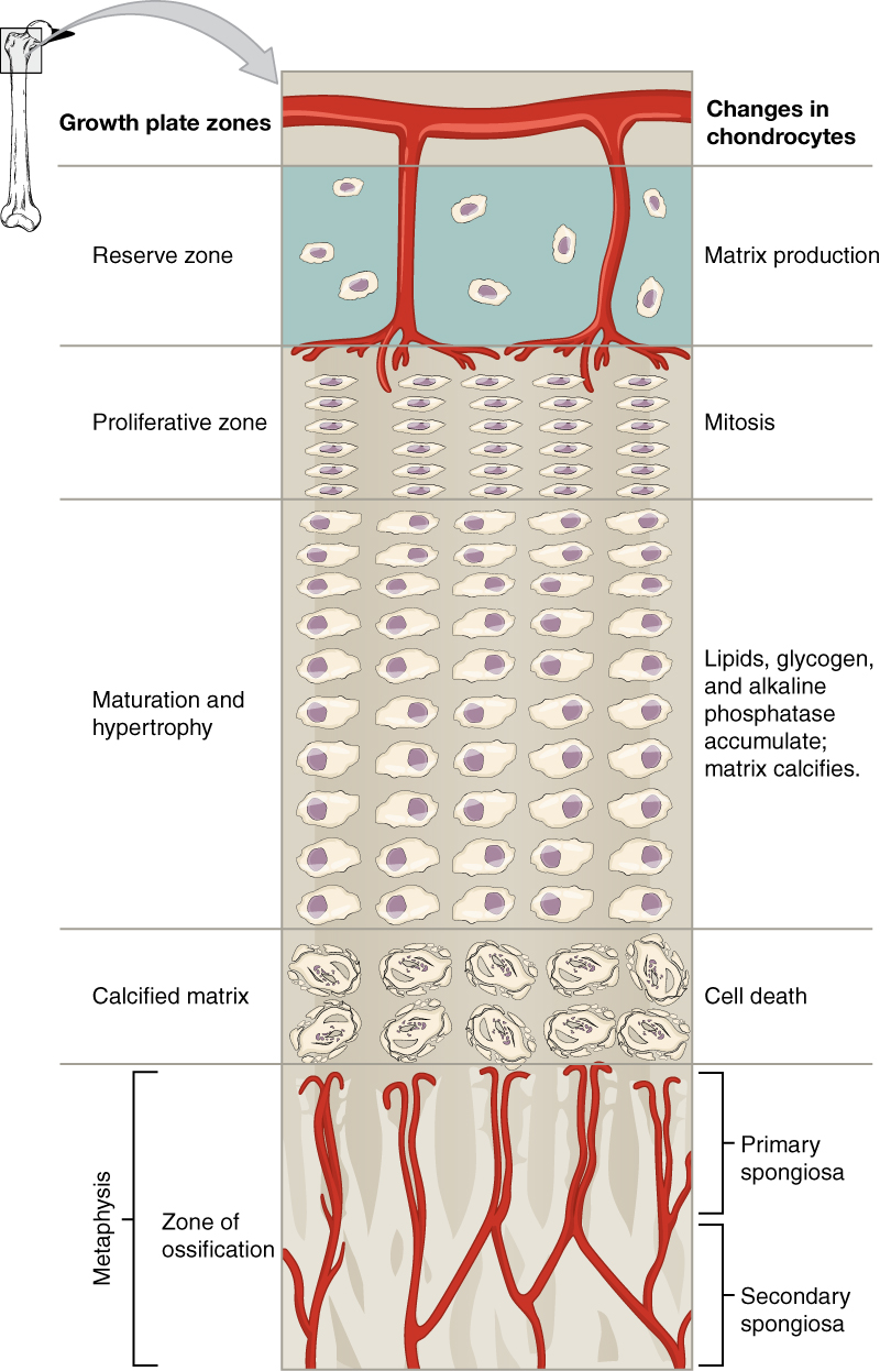 Bone Formation and Development · Anatomy and Physiology