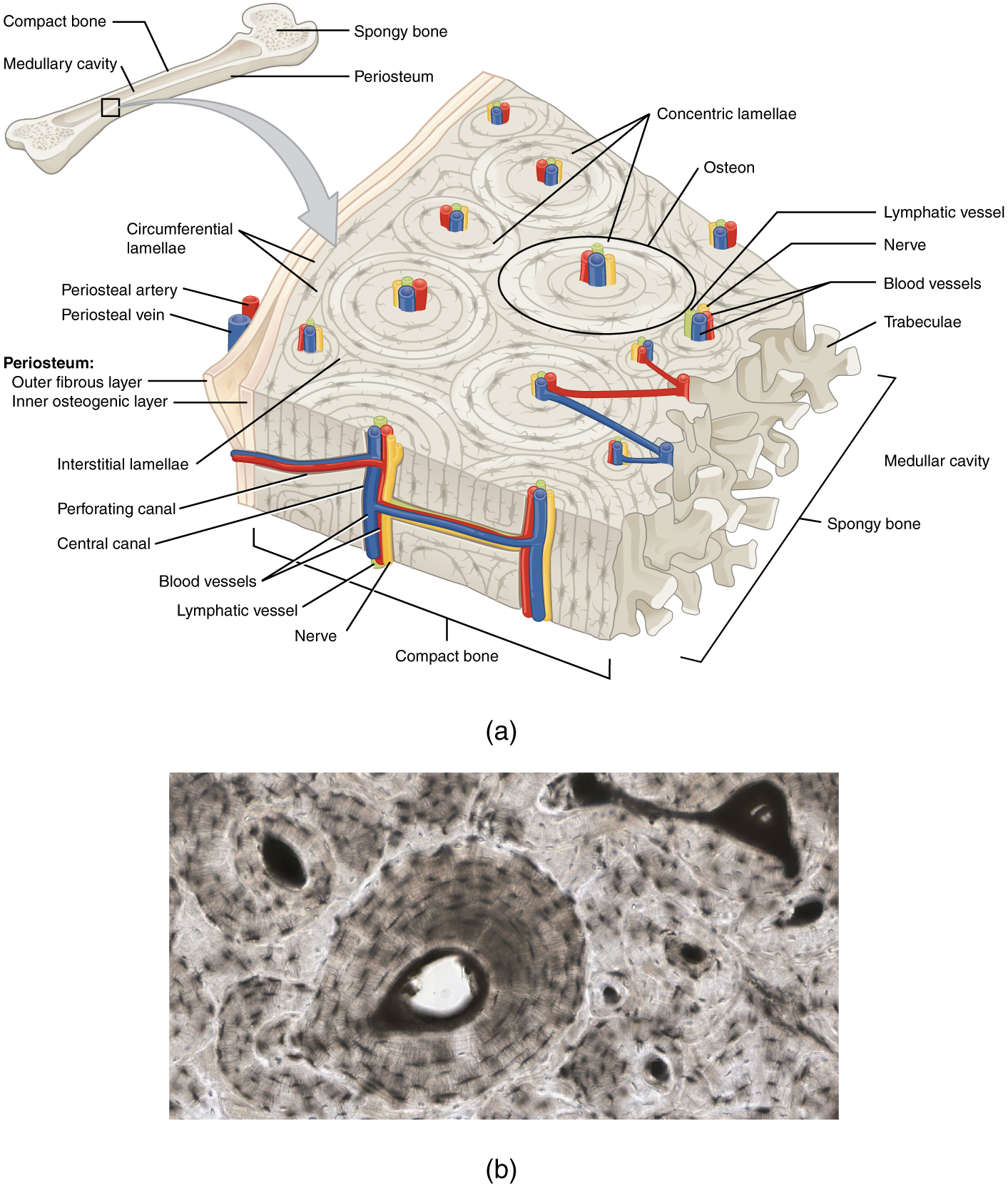Bone structure anatomy and physiology diagram of compact bone pooptronica Choice Image