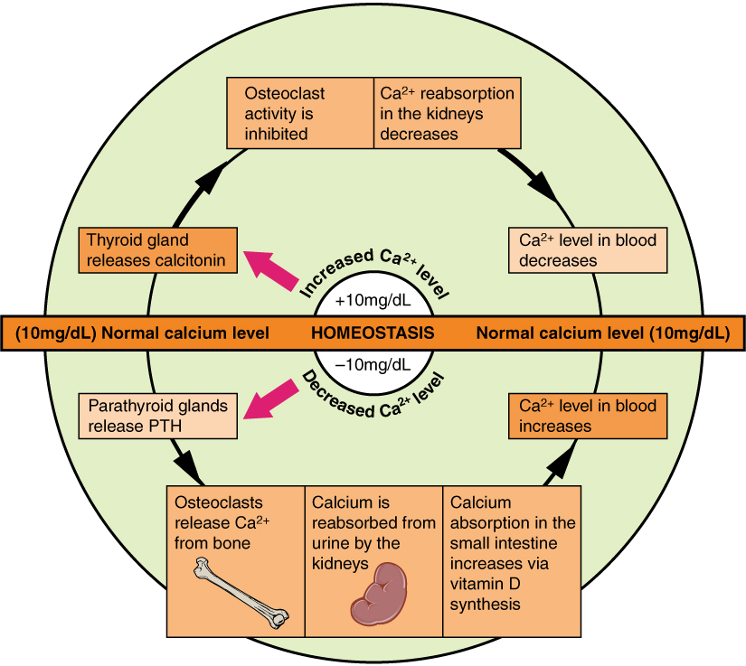 Calcium Homeostasis: Interactions of the Skeletal System ...