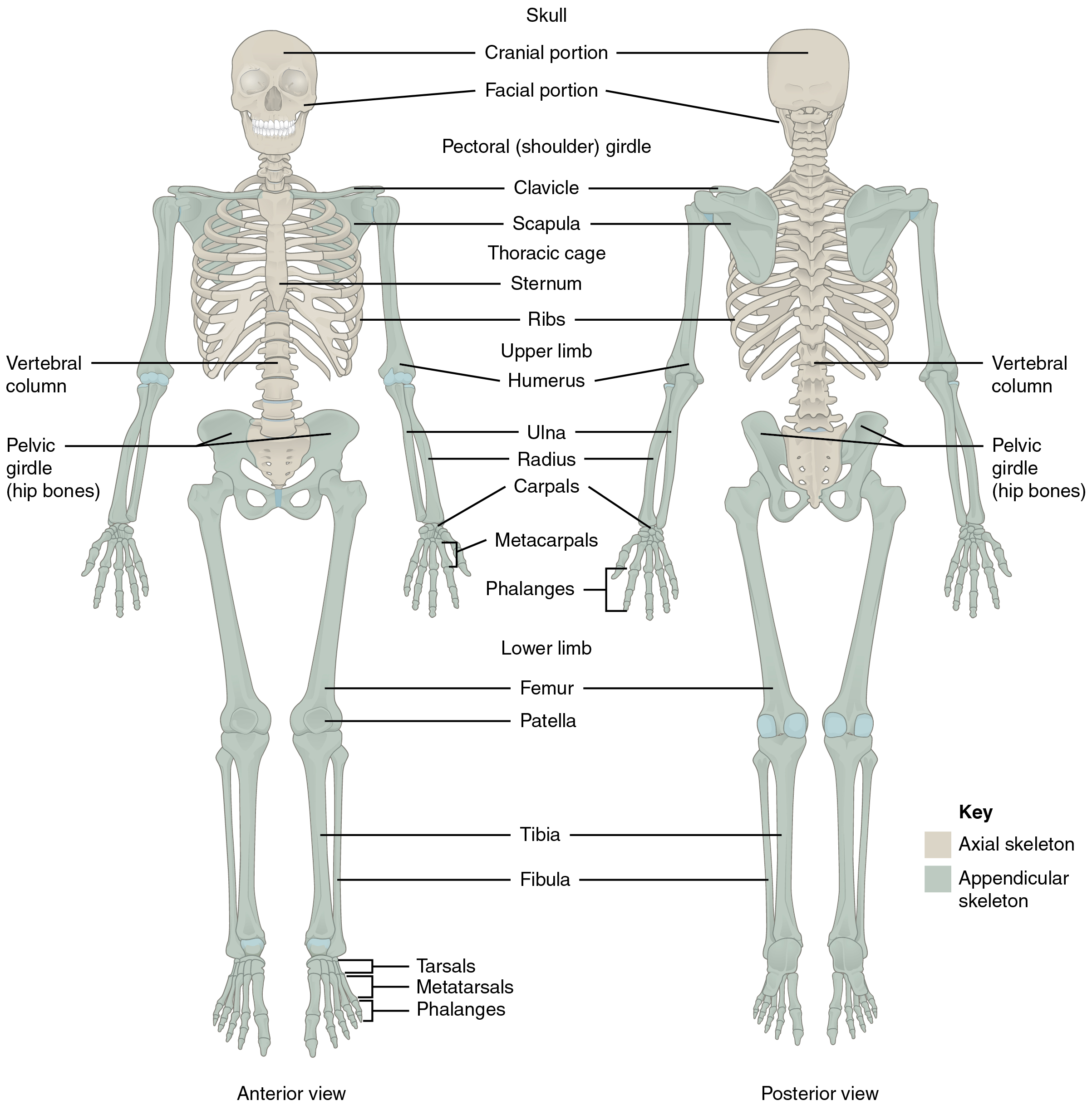divisions of the skeletal system · anatomy and physiology, Skeleton