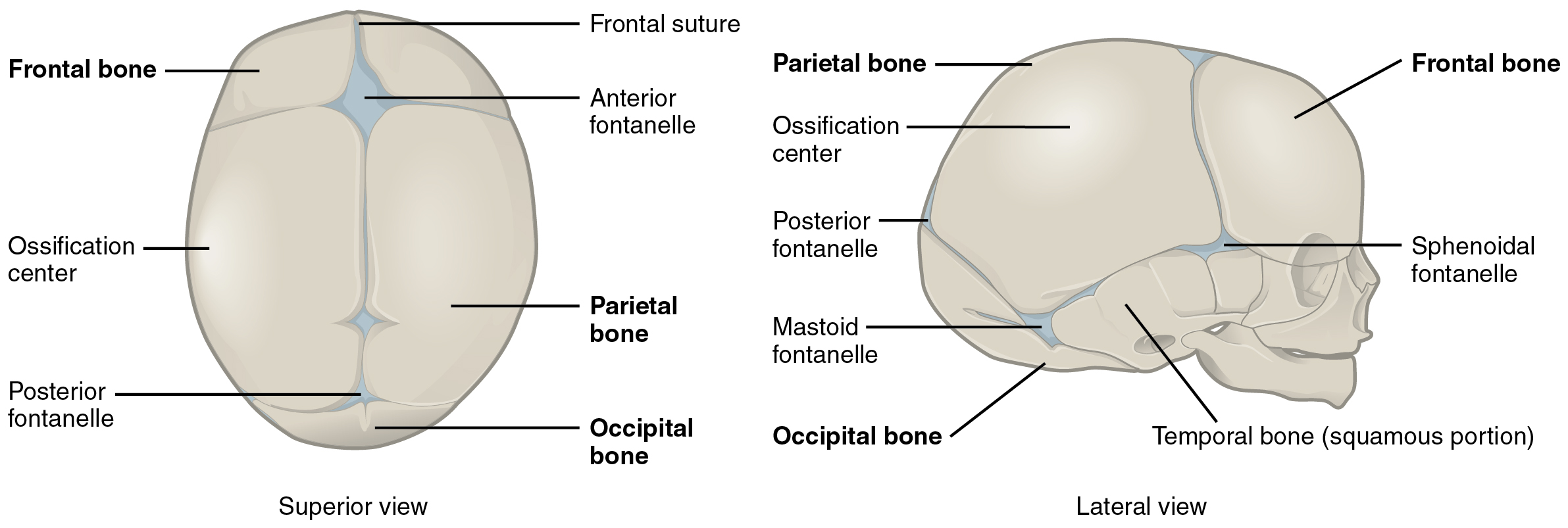 Embryonic Development Of The Axial Skeleton  U00b7 Anatomy And