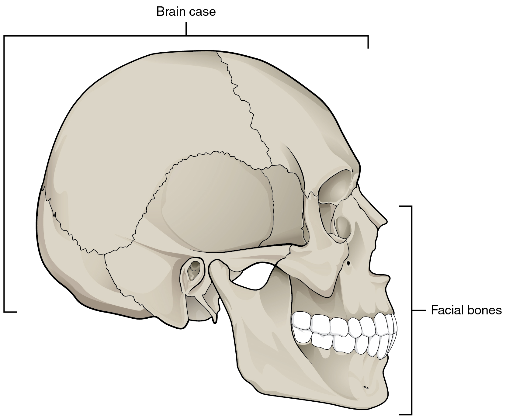 The Skull Anatomy And Physiology
