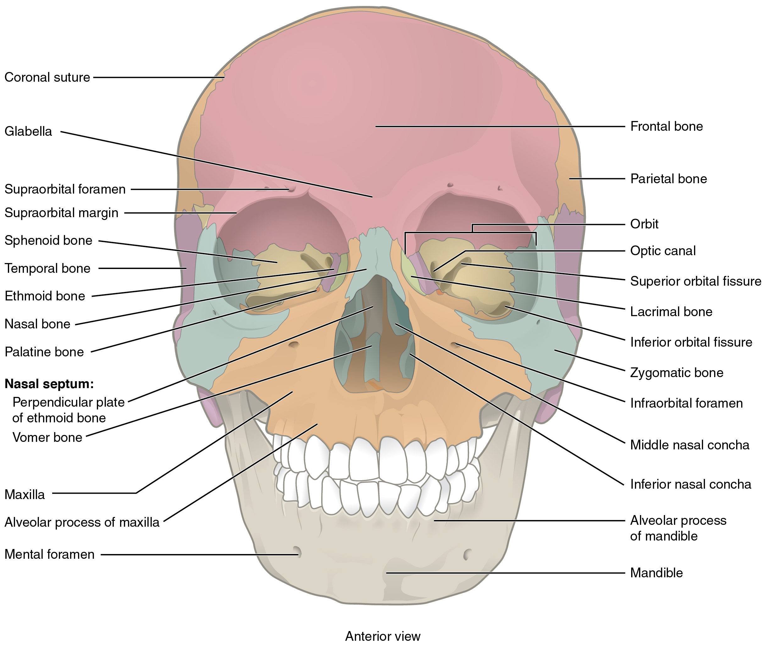 the skull · anatomy and physiology, Human Body