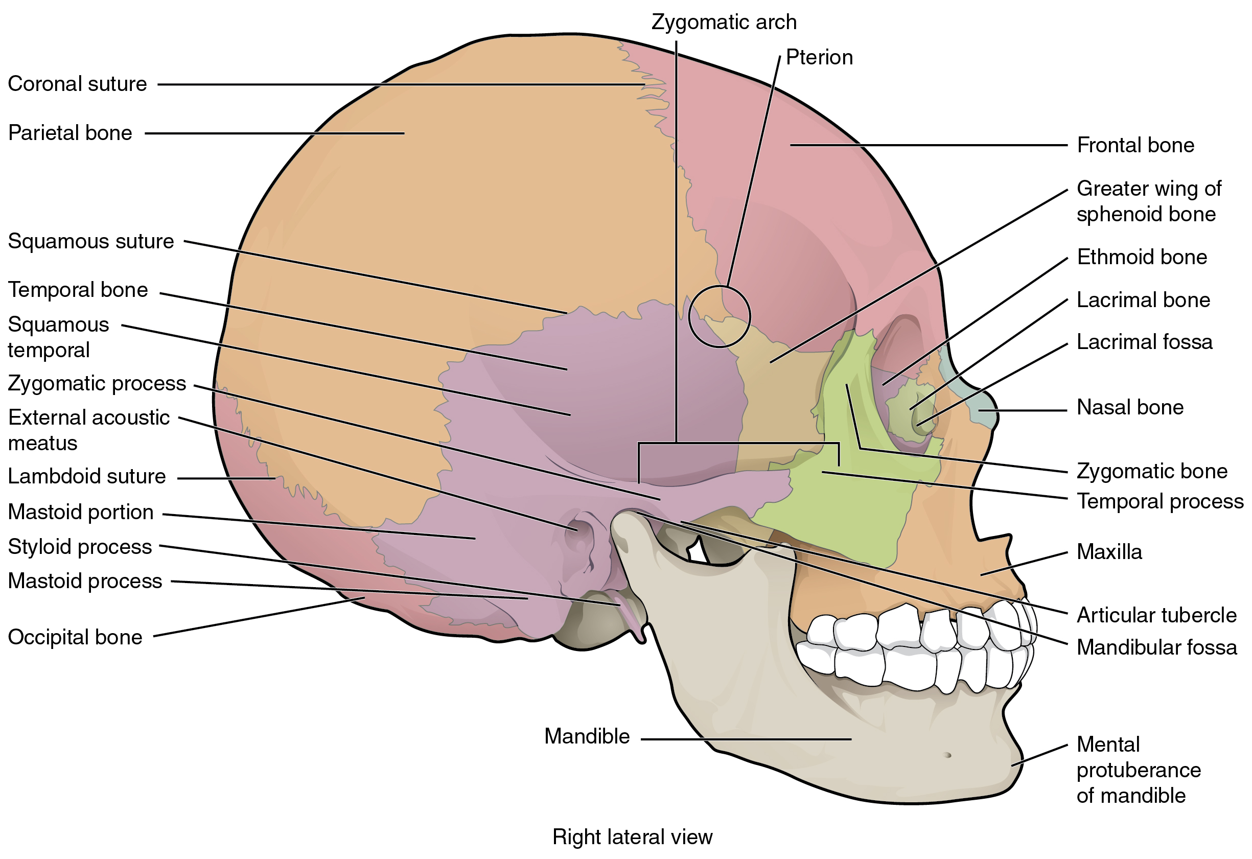 the skull · anatomy and physiology, Wiring diagram