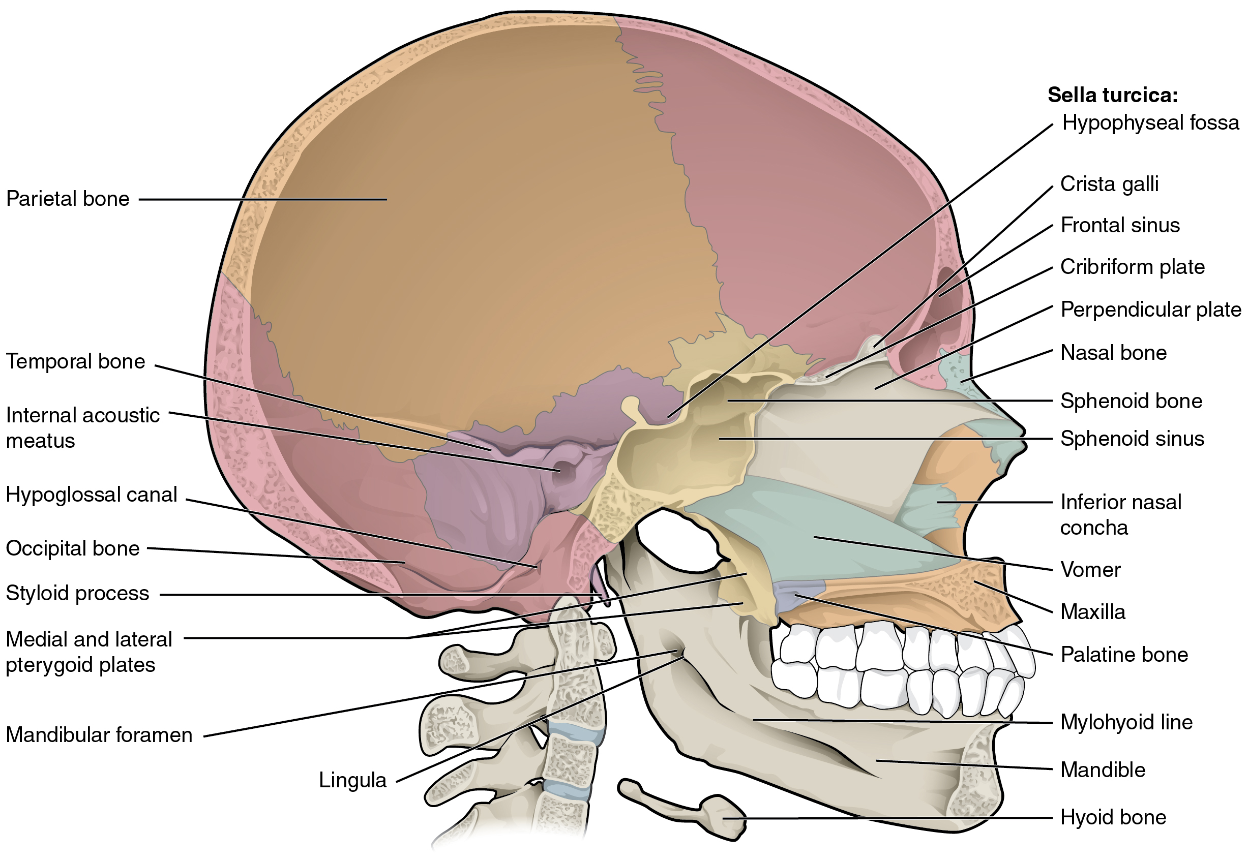 The Skull · Anatomy and Physiology