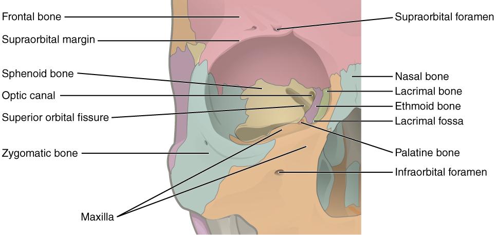 the skull · anatomy and physiology, Cephalic Vein