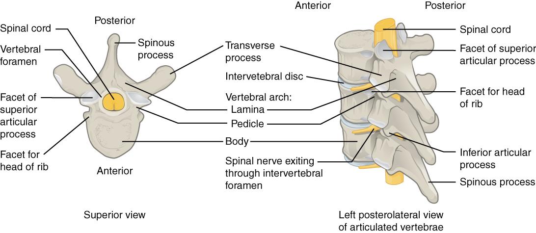 The Vertebral Column · Anatomy and Physiology