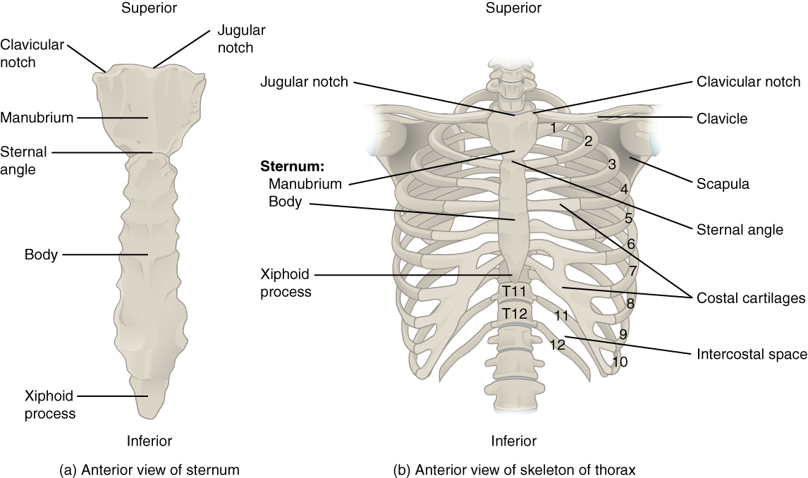 the thoracic cage · anatomy and physiology, Skeleton