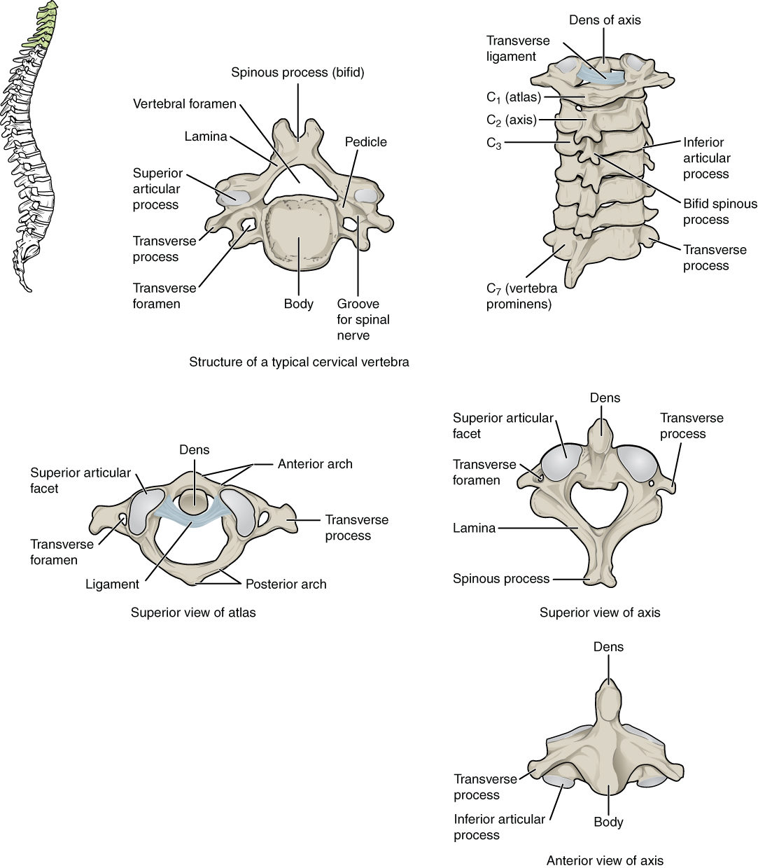 Worksheets Vertebral Column Worksheet the vertebral column anatomy and physiology cervical vertebrae