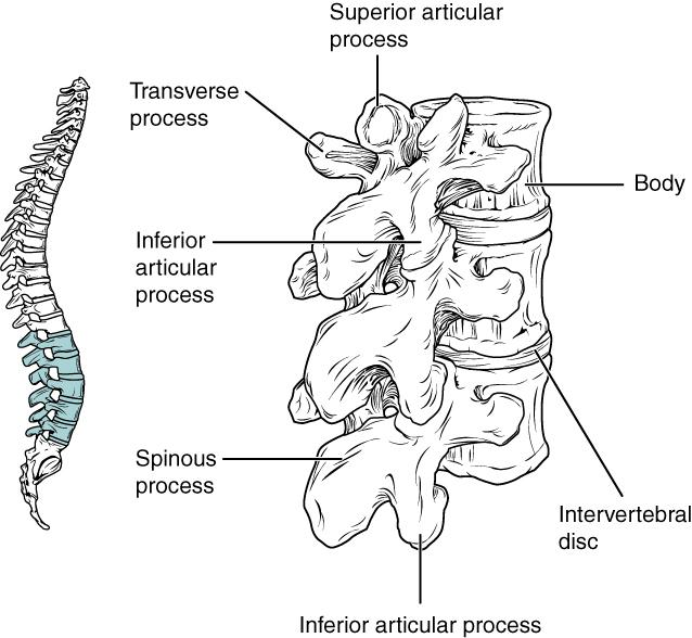the vertebral column  u00b7 anatomy and physiology