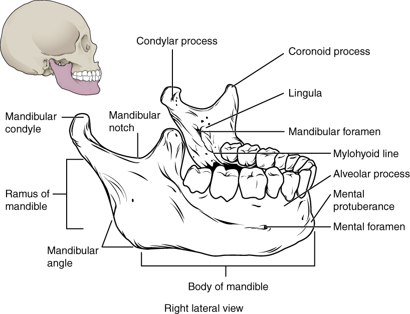726_Mandible