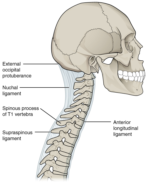 The Vertebral Column · Anatomy and Physiology