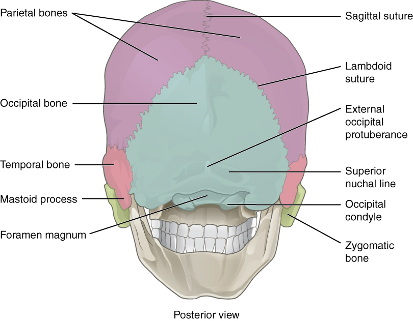 shows the posterior view of the skull and the major parts are labeledBack Of Skull Labeled