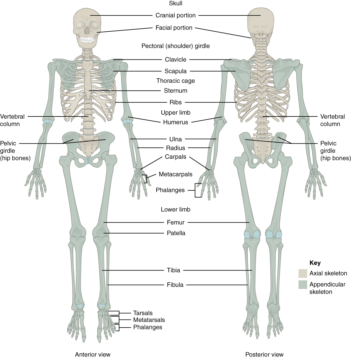This Figure Shows The Human Skeleton Left Panel Anterior View And
