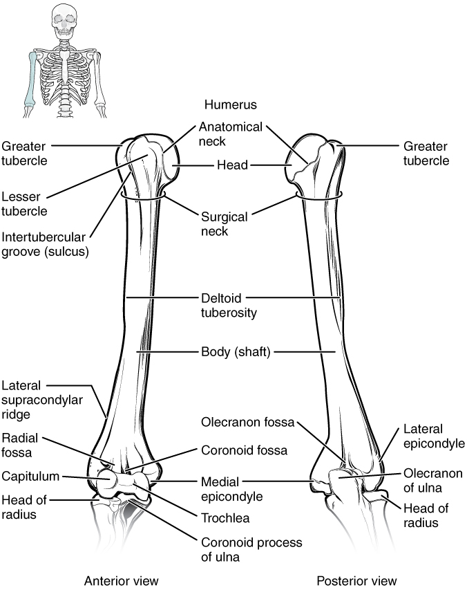 bones of the upper limb · anatomy and physiology, Cephalic Vein
