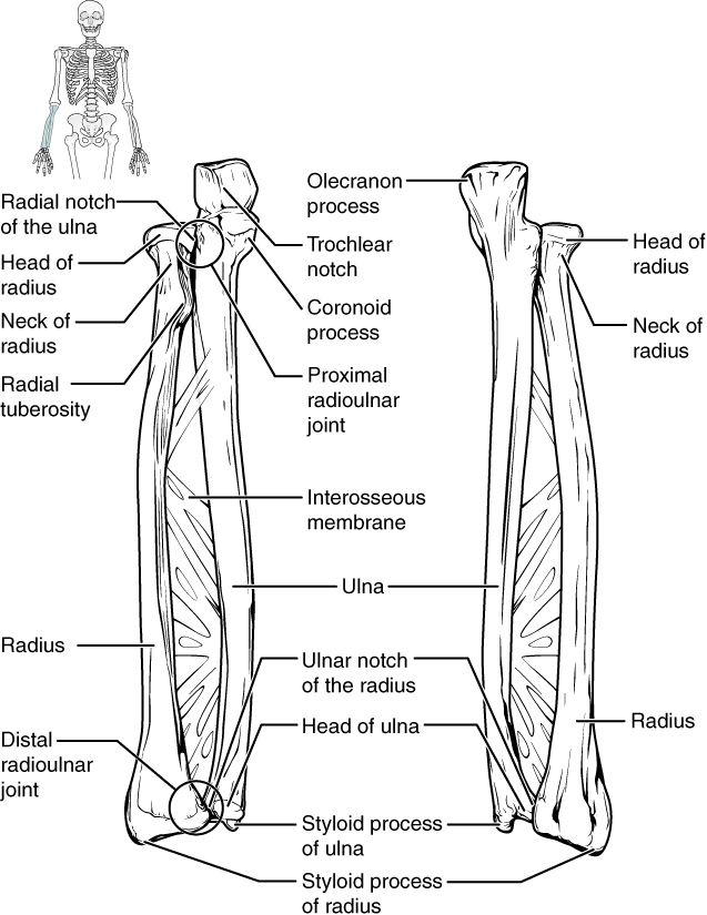 bones of the upper limb  u00b7 anatomy and physiology