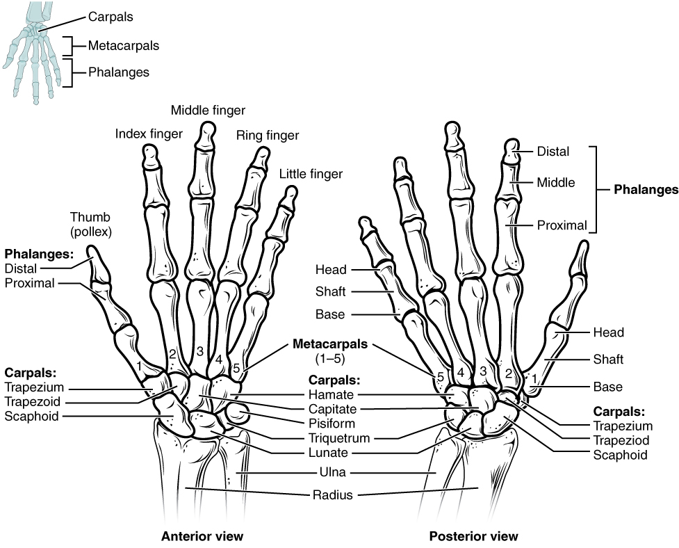 anatomy of the upper limb hand joint online medical library. Black Bedroom Furniture Sets. Home Design Ideas