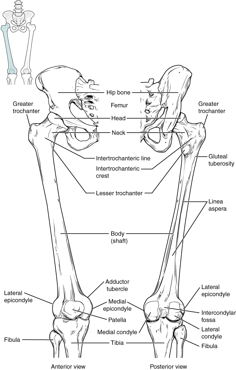 bones of the lower limb anatomy and physiology : upper leg bones diagram - findchart.co